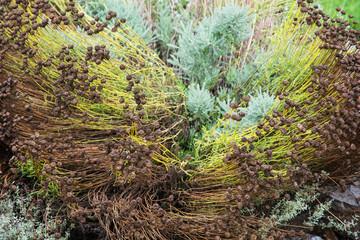 Santolina lindavica plant