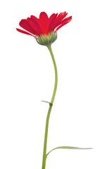single red marigold flower isolated on white