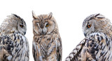 three grey owls isolated on white background