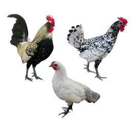 three isolated on white chickens