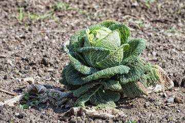 cabbage plant on soil