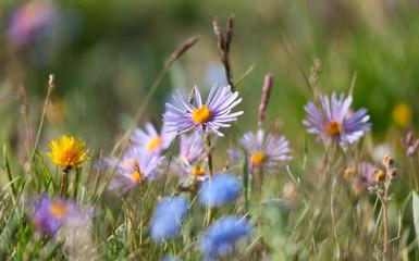 Alpine meadow in the summer
