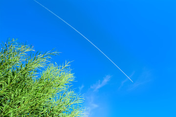 green reeds under a contrail in the blue sky