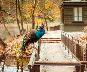 peacocks  in Lazienki Park