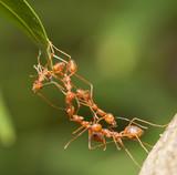 Fototapeta Ant bridge unity