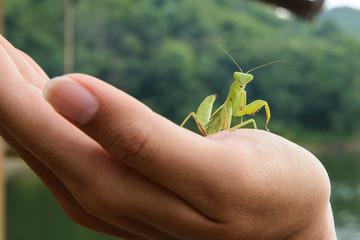 Green mantis on a hand, looking at camera