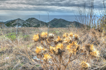 dried cardoon flowers in the countrside