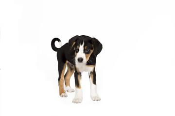 Appenzeller Sennenhund Welpe stehend