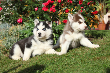 Two puppies of siberian husky lying in front of flowers