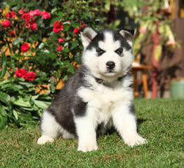 Nice siberian husky puppy in the garden