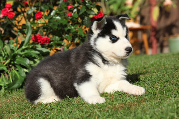 Amazing siberian husky lying in front of red flowers