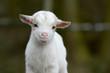 Leinwanddruck Bild - Kleine Ziege