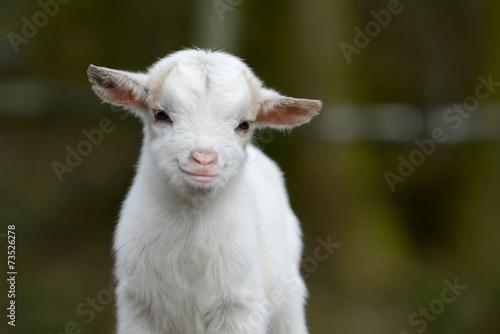 Leinwanddruck Bild Kleine Ziege