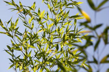 Bambusstrauch Blätter