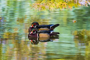 Wood Ducks on a Pond