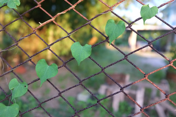 Heart-shaped leaves on the rusty grid-iron fence