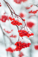 Snow-covered branch of a mountain ash