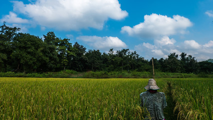 Scarecrow in rice field background of forest and sky.
