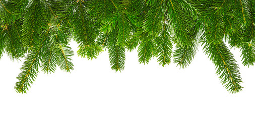 tight fir branches on white