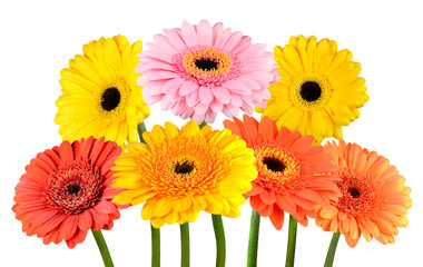 Bunch of Colorful Gerbera Marigold Flowers Isolated on White