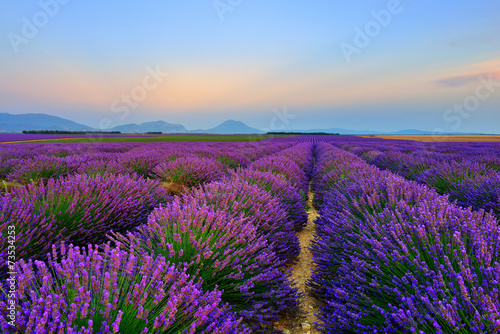 Lavender field at sunset - 73534253