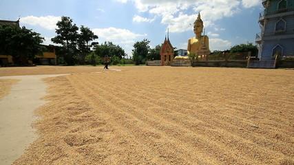 Farmer working, drying rice seed on field
