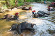 Thai elephant was take a bath with mahout in Thailand