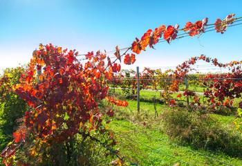 View of vineyard row