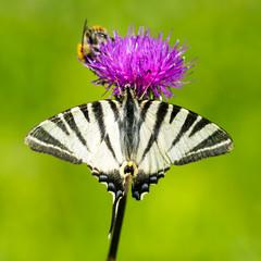 Scarce Swallowtail Butterfly - Iphiclides podalirius