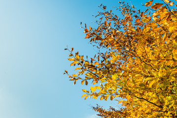 Golden leaves against a blue sky from cloes