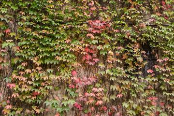 Muro di una casa coperto di edera in autunno