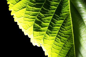 leaf on black background. Macro