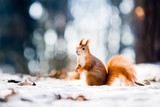 Cute red squirrel looking in a winter scene