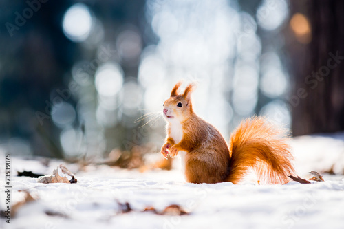 Foto op Canvas Eekhoorn Cute red squirrel looking in a winter scene