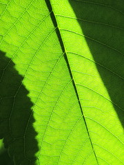 Cherry leaf against a sunlight in the spring garden