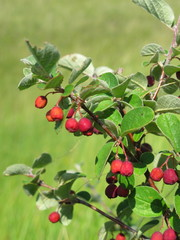 Dark-fruited cotoneaster (Cotoneaster melanocarpus) with pomes