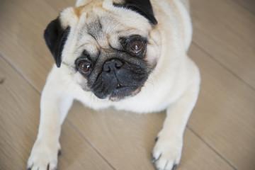 Carlino dog portrait