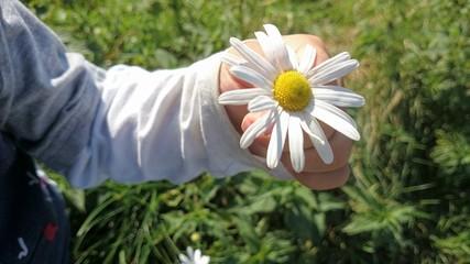 Gänseblümchen in Kinderhand