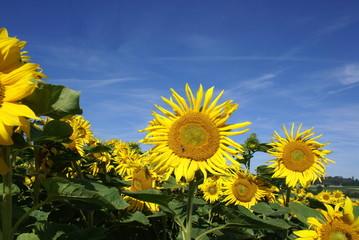Sonnenblumen und Himmel
