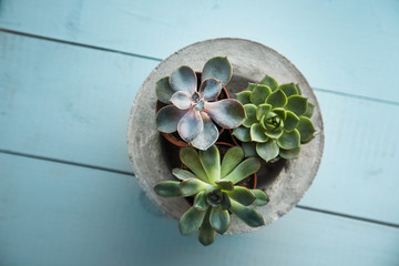 Succulents in concrete pot. Blue wooden table.