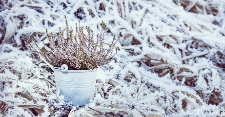 Heather in an old bucket on the snow grass