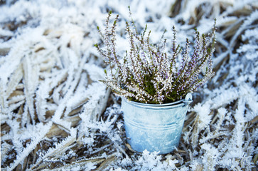 Heather in an old bucket on the frozen grass in winter.