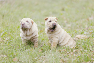 Two Shar Pei puppy