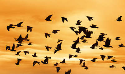 Swarm of Doves flying on sunset