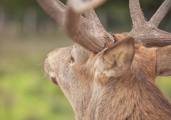 close up picture of a Stag in the forest from behind with big an