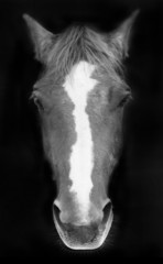 Portrait of a horse in black and white