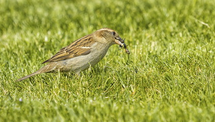 Sparrow eating an insect