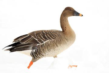Bean goose (Anser fabalis middendorffii) in Japan