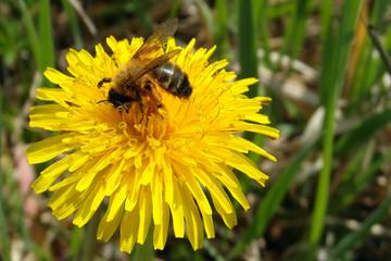 Dandelion & bee