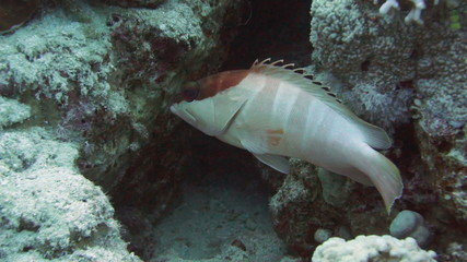 Blacktip grouper among the corals in the Red Sea